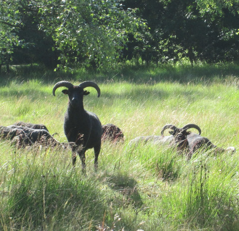 Primitive Hebridean sheep - part of the Yorkshire Wildlife Trust conservation grazing program