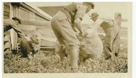 Shearing in the early days at Tarndwoorncoort